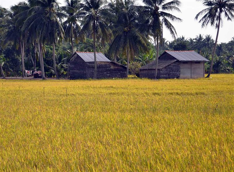 a-rice-paddy-field-ruong-lua-gao