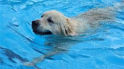 dog-swimming