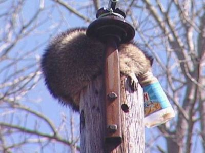stuck_head_in_jar_on_pole_raccoon-large-content
