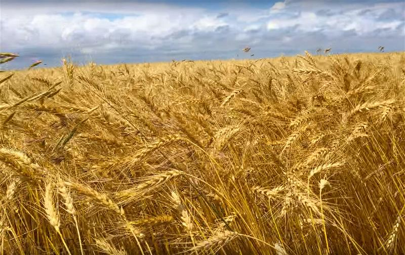 a-wheat-field-lua-mi