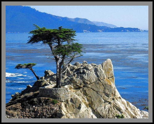 Wind-ravaged Lone Cypress
