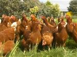 a-nuoi-ga-chicken-farm